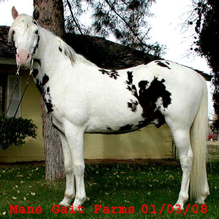 Best Persian Asil Horses Images On   Arabian Horses