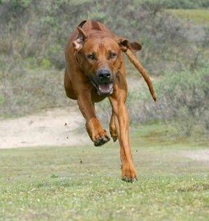 Rhodesian Ridgeback coming full throttle