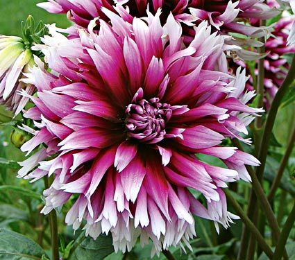 "Dahlia Clair Obscure. perennial, 36"" tall & 24"" wide. plant in March. full or part sun, blooms July - Oct."