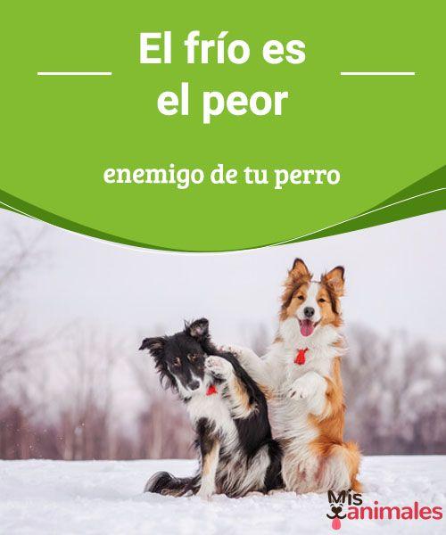 El frío es el peor enemigo de tu perro Uno de los errores más comunes de muchas personas, es pensar que los caninos no pueden sentir frío gracias a su pelaje. #frío #enemigo #perro #salud
