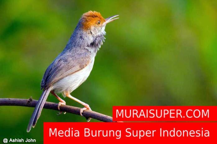 Download Mp3 Suara Prenjak Untuk Masteran Murai Suara Burung Burung