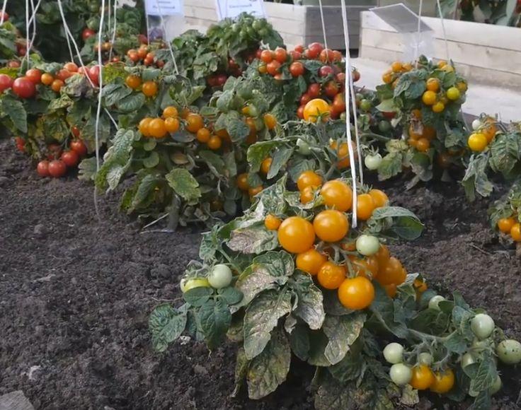Огородники, у которых на участке растут томаты, знают, что эта культура требует постоянного ухода: поливов, удобрений, пасынкования, формирования, подвязки. Но не у всех есть возможность или желание …