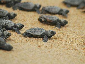 SUALTI Gazetesi | Dünyaca ünlü sahilde caretta caretta yuvaları yarıya düştü http://www.sualtigazetesi.com/?p=98785 http://sualtigazetesi.mobapp.at - SG cep ve tablet whatsapp: 0505 007 77 88