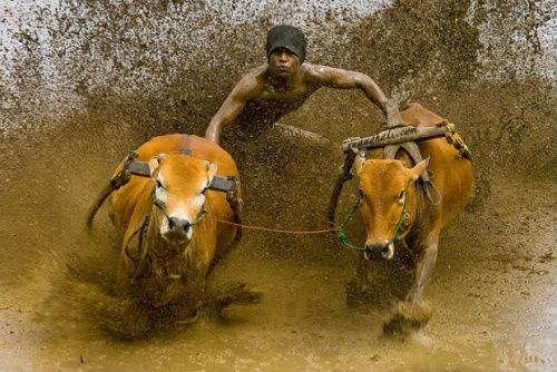 Karapan Sapi (Bull Race) Madura-East Java, Indonesia Bull Race in addition to a tradition as well as the party of the people who carried out after a successful harvest rice crops or tobacco