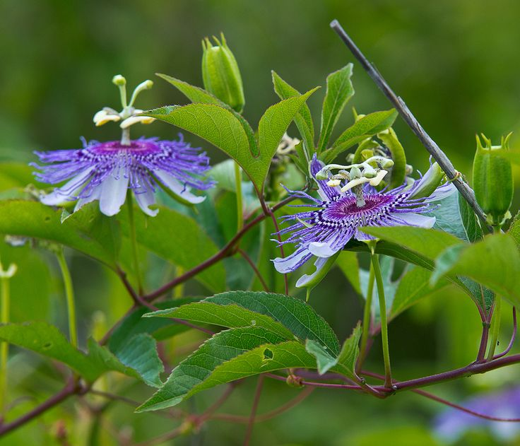 Gardeners become discouraged when their passion flower does not bloom. No blooms on passion flower vines happen for various reasons. This article explains some of them.