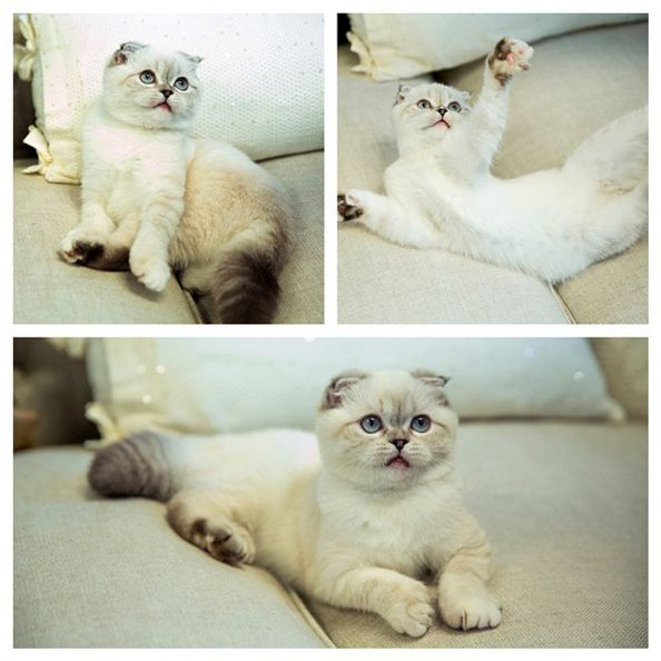 Taylor Swift's Cat Olivia Benson Might be THE Cutest Kitty Around!    I want a Scottish Fold for sure