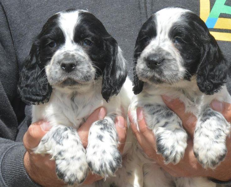 Loving blue roan Cocker Spaniel puppies - Pedigree Puppies For Sale
