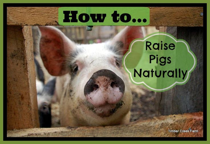 we raise pigs naturally on pasture. It is a more sustainable practice. Pigs natural behavior is to root and forage and raising on pasture supports this.