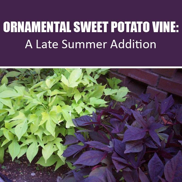 The Advantages of Growing Ornamental Sweet Potato Vine