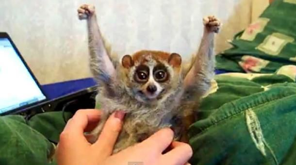 Slow loris likes to get tickled | Animals | Pinterest ...