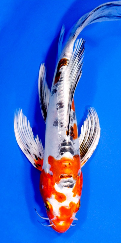 Maruten heisei nishiki under the sea pinterest koi for Koi fish retailers