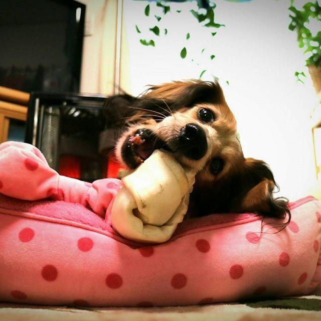 ちょっと久しぶりのジャンボガムです(笑)  最初にあげてから、もうすぐ1ヶ月。 まだもってます🐶🎶 あと2/3くらい残ってる💧 もう飽きちゃって、だいぶペースが落ちてるからナカナカ減らない💧💧💧#犬 #愛犬 #動物 #ダックスフンド #ダックス #ミニチュアダックスフンド #ミニチュアダックス #クリーム #パイボールド #ブラックタン #dog #dogs #animal #animals #dachshund #miniaturedachshund #longhaireddachshund #longhairedminiaturedachshund #cream #piebald #blacktan #EOS_M3 #EOSM3 #EOSM #キャノン #CANON