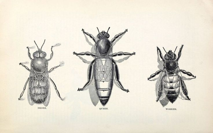 6685.Bees hierarchy.queen bee.drone bee.worker bee.POSTER.art wall decor