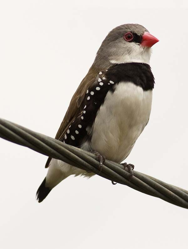 Diamond Firetail (Stagonopleura guttata) - Grampians National Park, Victoria