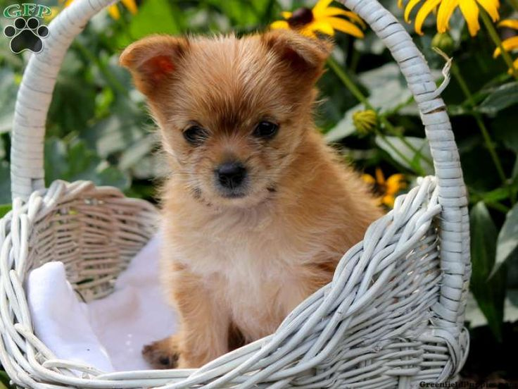 Meadow yorkie pom puppy for sale from myerstown pa