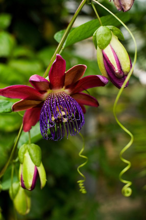 An open flower and buds - as well as stem and curling tendrils - of a purple passion flower (Passiflora phoenicia or alata) CopyrightSkye Hohmann