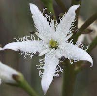 Buckbean (Menyanthes trifoliata) flowers