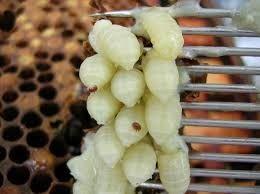 Βιολογική Μελισσοκομία: ΒΑΡΡΟΑ και πώς να τις πιάσετε