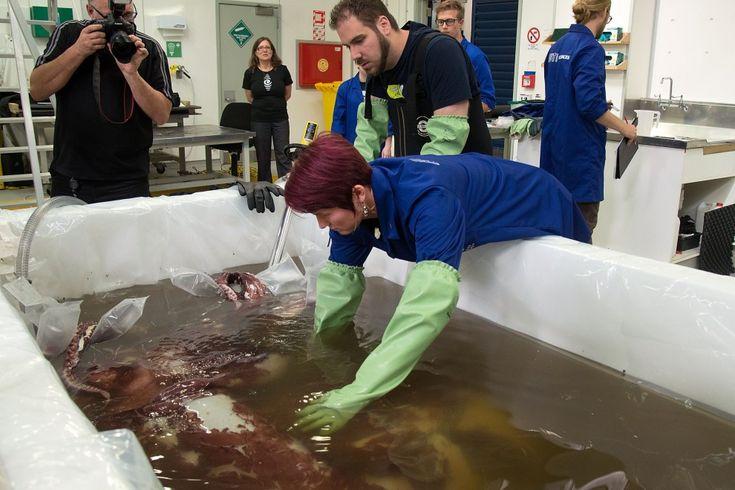 Ecco il 'mostro' degli abissi: calamaro gigante pescato in Antartide
