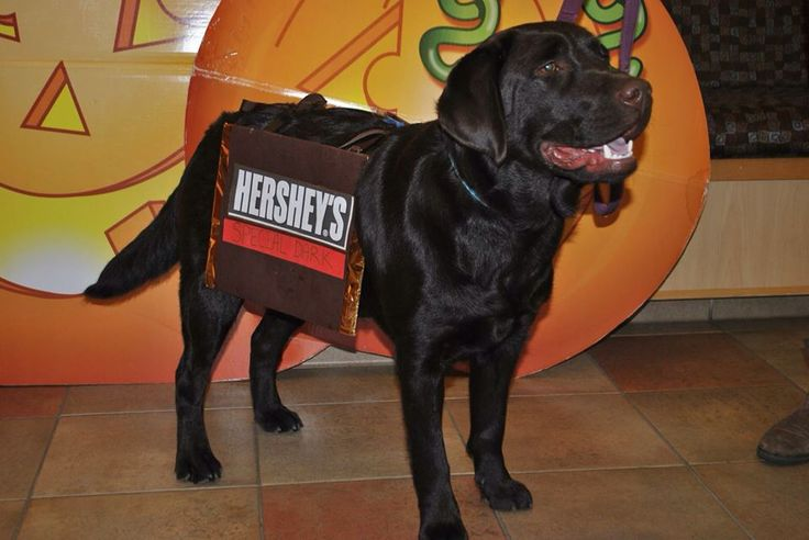 Chocolate lab Halloween costume: Hershey's special dark chocolate bar! Chocolate labrador puppy Clancy is all dressed up for Halloween