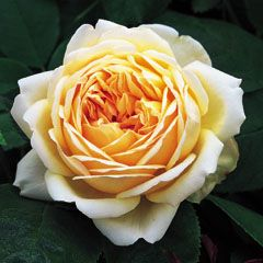 Jude The Obscure David Austin Shrub Rose for border strong and delicious frangance