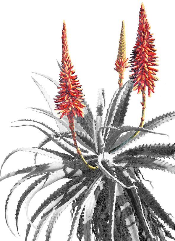 Aloe-final-email-.jpg (592×814)