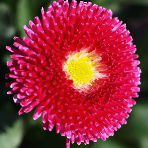 best flowers english daisies images on, Beautiful flower
