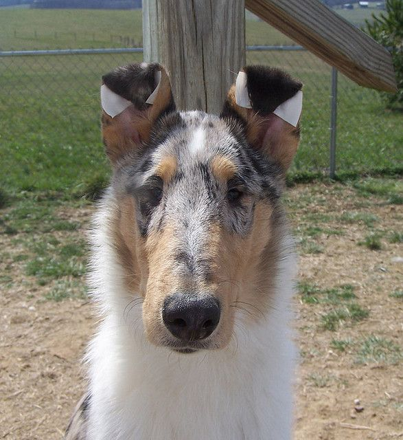 Smooth Collie dog photo | Rebel- Smooth Collie | Flickr - Photo Sharing!