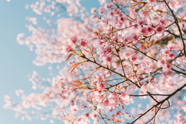 Swipe Through These Foods To Find Out The Season You Are Going To Get Married Cherry Blossom Flowers Blossom Flower Cherry Blossom Festival