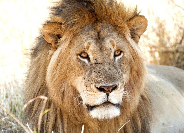 Løve i Serengeti Nationalpark