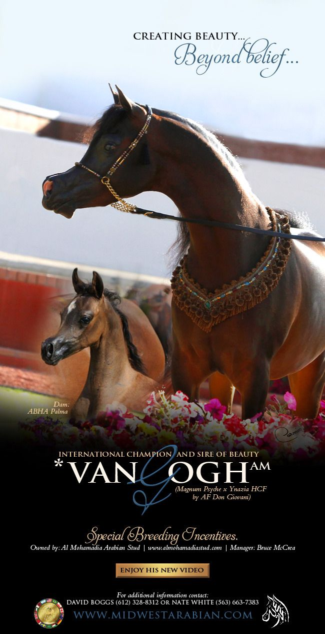 *Van Gogh & Midwest :: Arabian Horses, Stallions, Farms, Arabians, for sale - Arabian Horse Network, www.arabhorse.com