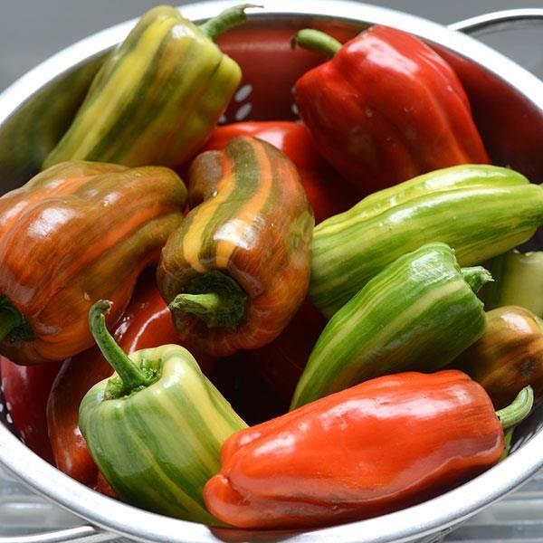 'Candy Cane Red' sweet pepper (Capsicum annuum)