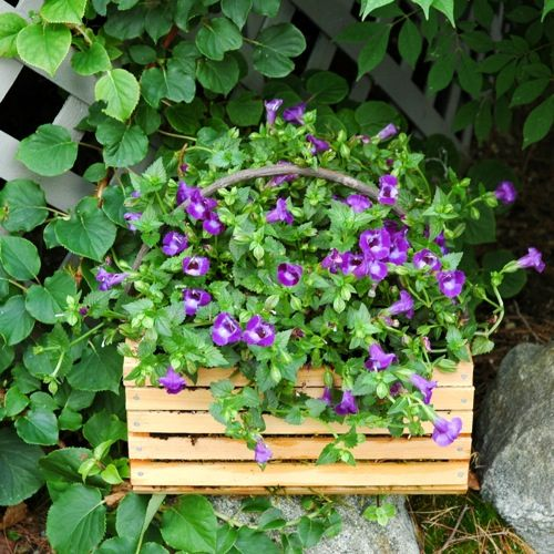 It features a simple wooden basket with a torenia hybrid ( Summer Wave® Large Violet) also known as a wishbone plant.