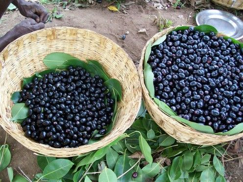 Black Plum - Jamun (Jambul) Fruit Benefits And Uses