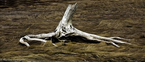 Driftwood at Alma, NB