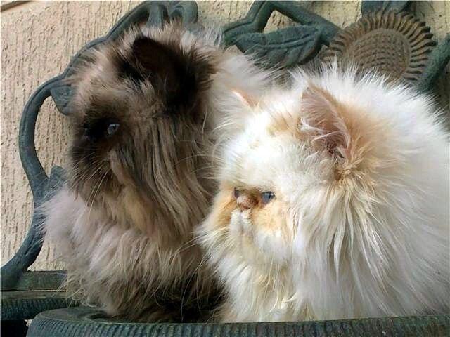 Persian Cat Rescue Tn