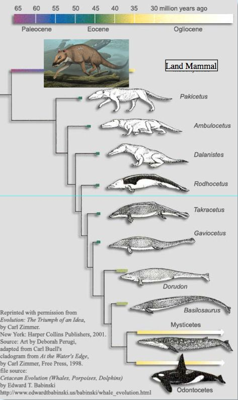 Diagram of whale evolution - Note  not only the intermediate stages, but independent dating of those fossils shows them to occur in the precise temporal order expected if they were transitional forms. (The tree shows the time when each form diverged from its ancestor.) The rear legs get smaller, the nostrils move atop the head to form the blowhole, the earholes and auditory apparatus forms, the pelvis separates from the spine, and so on....
