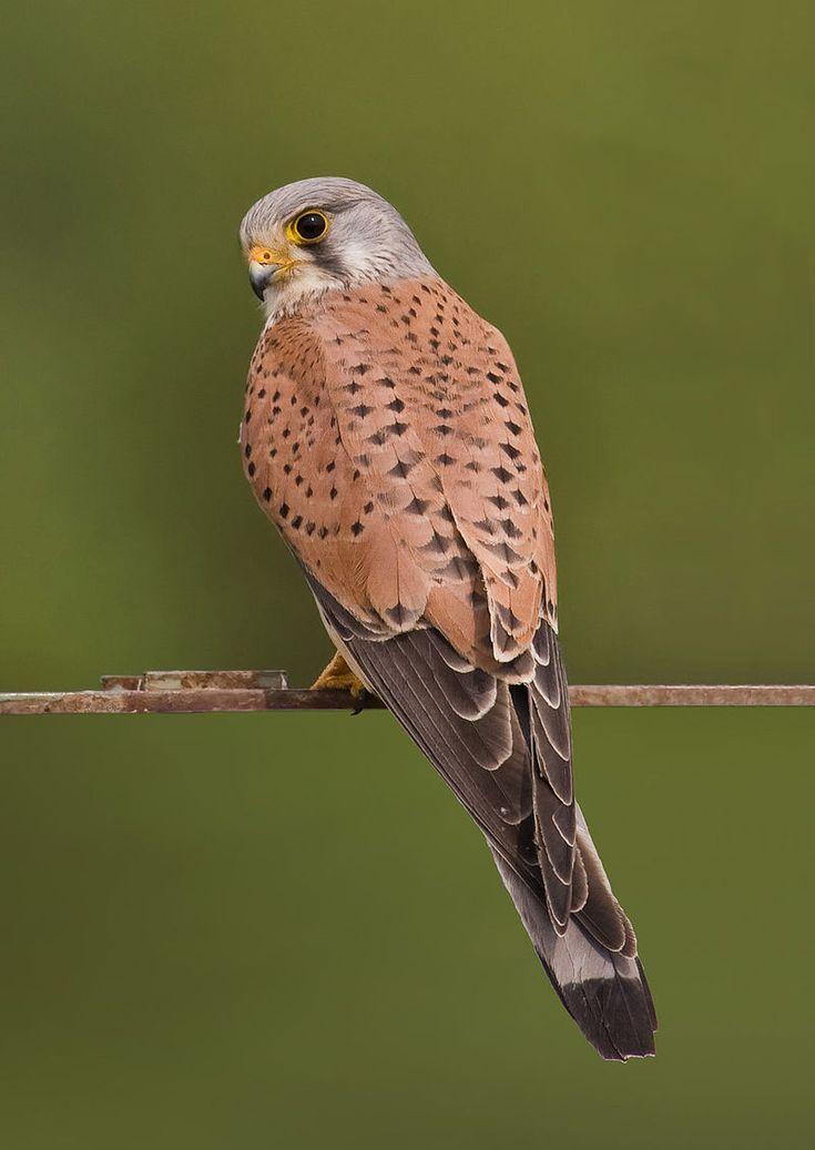 Faucon crécerelle (Falco tinnunculus).Wikipédia