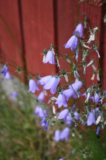 Bluebells, Kissankello(= catsbell :D) represents the Central Ostrobothnia province in Finland.