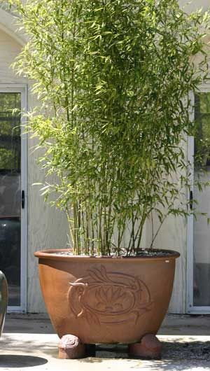 Bamboo Hedge In Pots