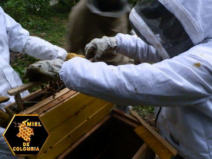 Las abejas africanizadas también responden más rápido a estímulos defensivos que las europeas. El hecho de que las abejas africanizadas respondan más rápido y en mayor número a estímulos de defensa que las abejas europeas se debe a que poseen un umbral de reacción más bajo que éstas (son más sensibles). Las colonias de abejas africanizadas también persiguen a intrusos con 10 a 30 veces más individuos que las colonias de abejas europeas.