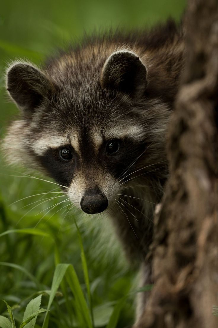 17 best raccoons images on pinterest
