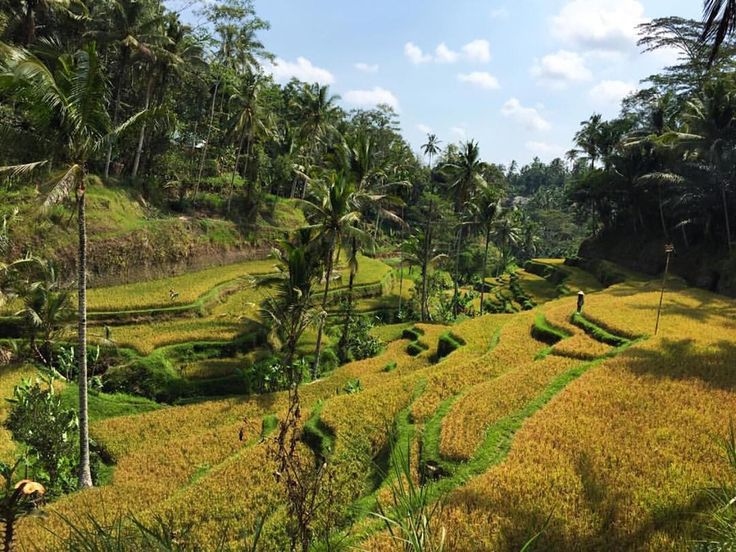 Rice shelves in Bali Indonesia! Beautiful!!! Thanks to @jstnryn  #LucalHQ #Nature #Puravida #Beleza #Outdoors #Adventure #Explore #Discover #Local #Photographer #Picoftheday #Nofilter #Sinfiltro #Landscape #Cloudporn #Sky #Wanderlust #Pordosol #Travel #Viagem #Yellow #Skyporn #Club #Bali #Green #Natural #Indonesia #Beauty #Sunset  Source: @jstnryn