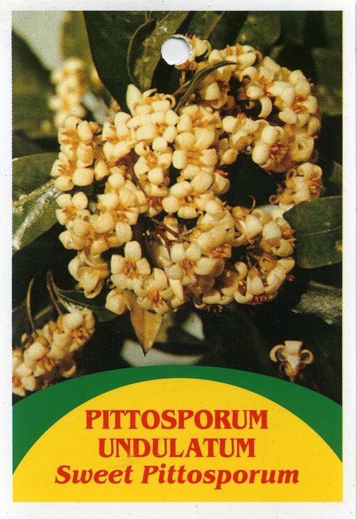 Sweet Pittosporum - Pittosporum Undulatum