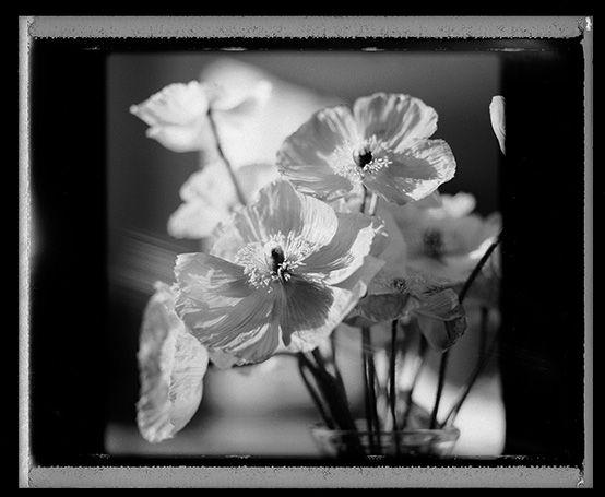 poppies shot on type 667 polaroid copyright Craig Arnold photography