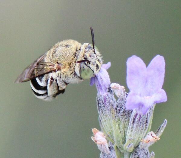 From @mookaqueen on Twitter - Blue banded bees were cold-not moving much today in #Canberra Do they hang on by their jaws @Mikey_Whitehead  #wildoz