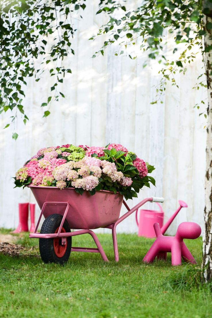 Rosa Hortensie im Schubkarren #pflanzenfreude
