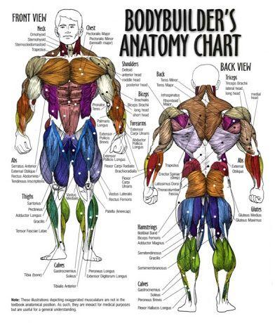 The Body Building Anatomy
