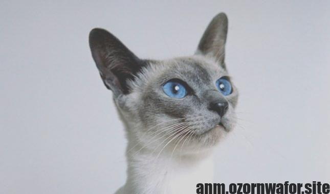 Wonderful Screen Siamese Cats Wedge Popular Siamese Cats Everyone