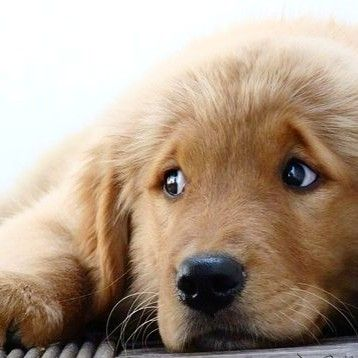 Pin By Goldenresults On Goldens Honorary Goldens Puppy Dog